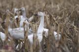 Festival de l'oie blanche pict0036.jpg