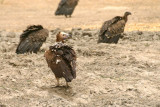 Lappet-faced Vulture (Torgos tracheliotus)
