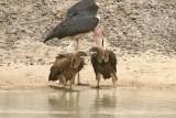 White-backed Vulture (Gyps africanus) and Marabou Stork (Leptotilos crumeniferus)
