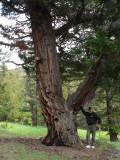 That's me trying unsuccessfully to hold up that big branch!  I measured the tree with my tape and the girth at the base was 15 feet.  This is one of the oldest trees in the area, about 700 years old.