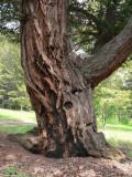 Ancient fir V.jpg