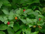 Salmonberries.jpg
