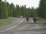 Hundreds of wild horses roam the Chilcotin plateau, particularly around the Brittany Triangle northeast of Chilko Lake.