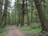 Old growth firs.jpg
