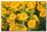 Sunflowers 2007