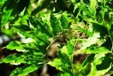Wysteria Leaf Pattern