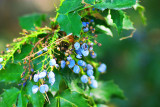 Don't Eat these Berries