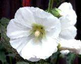 white flower in TTown