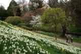 Daffodils and Magnolias