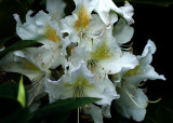 White Rhododendron