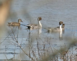 Migrating River/Water Birds Gallery