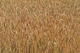IMG_0212wheat.jpg