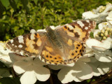 Painted Lady in garden