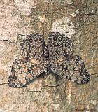 Calico - Hamadryas sp.