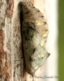Red Admiral Chrysalis 1935