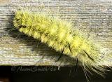 American Dagger Moth 2675