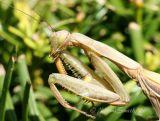 Praying Mantis-male #0852