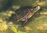 Painted Turtle #7740