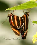 Banded Orange Heliconian-Dryadula phaetusa  JN7 #6923