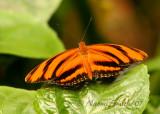 Banded Orange Heliconian-Dryadula phaetusa  JN7 #6847