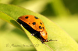 Chelymorpha cassidea-Argus Tortoise Beetle  JN7 #7214