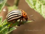Colorado Potato Beetle JN7 #7296