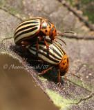 Colorado Potato Beetles JN7 #7298