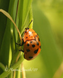 Chelymorpha cassidea-Argus Tortoise Beetle  JN7 #7543