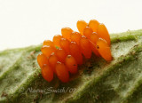 Colorado Potato Beetle ova JN7 #7509