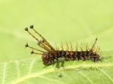 Citheronia regalis larvae JN7 #7763