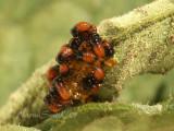 Colorado Potato Beetle Larvae JN7 #7815