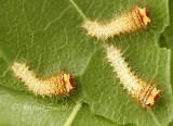 Polyphemus larvae JN7 #8080