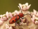 Red Milkweed Beetle JL7 #8146