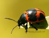 Swamp Milkweed Beetle JL7 #8461