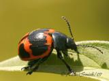 Swamp Milkweed Beetle JL7 #8464
