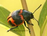 Swamp Milkweed Beetle JL7 #8466