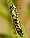 Monarch-Danaus plexippus Caterpillar JL7 #8491