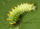 Antheraea polyphemus JL7-8512