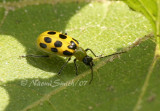 Spotted Cucumber Beetle JL7 #9633