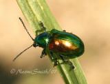 Dogbane Beetle JL7 #0319