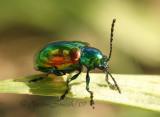 Dogbane Beetle JL7 #0417