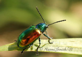 Dogbane Beetle JL7 #0399