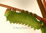 Antheraea polyphemus JL7 #0555