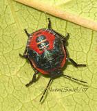 Perillus bioculatus - Stink Bug JL7 #0566