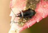Redheaded Flea Beetle- Systena frontalis JL7 #0609.jpg