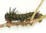 Eacles imperialis pini JL7 #0766