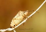 Stink Bug AU7 #1503
