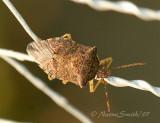 Stink Bug AU7 #1518