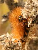 Salt Marsh Caterpillar AU7 #2806