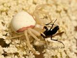Crab Spider AU7 #2814